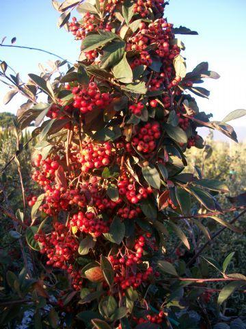 Cotoneaster lacteus - arbusti ornamentali sempreverdi online - arbusti online - cm 200-300 bianchi maggio bacche rosse in autunno-inverno