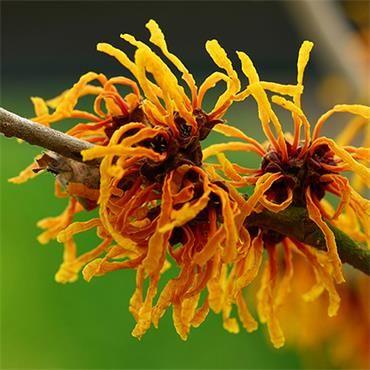 Hamamelis Orange Peel - Witch Hazel   Johnstown Garden Centre, Ireland