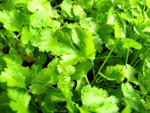 Growing Coriander – How to grow coriander – Step by Step with Pictures
