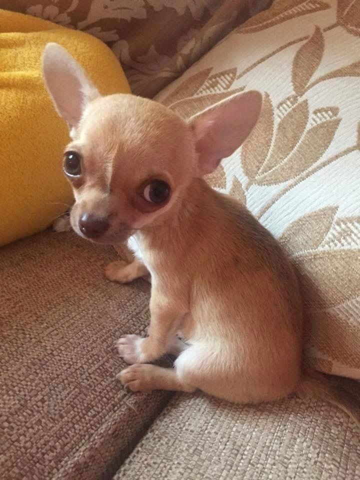 Best 25 Chihuahuas Ideas On Pinterest Chihuahua Puppies