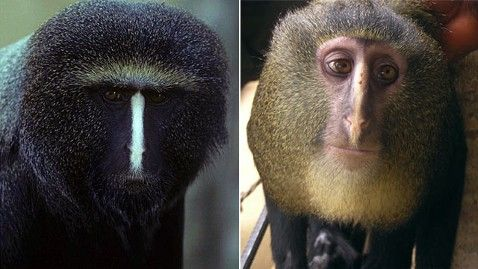 New monkey discovered in Africa - It's face is amazing!