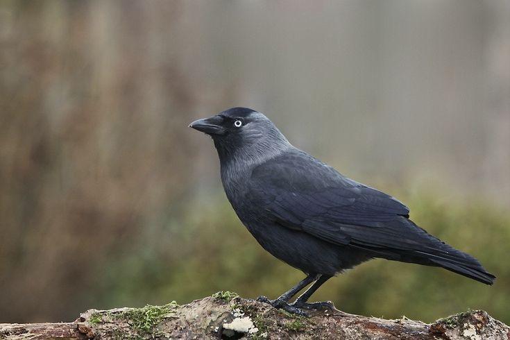 Kauw - Corvus monedula