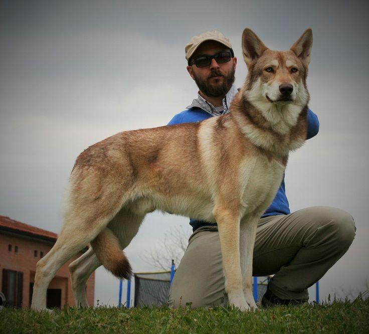 Lumos Solem di Fossombrone 1º Ecc. CAC alla 57ª Esposizione Canina Nazionale di Siena 2017! 🏆😉👍🏻🐾🐺🐾 #saarlooswolfdog