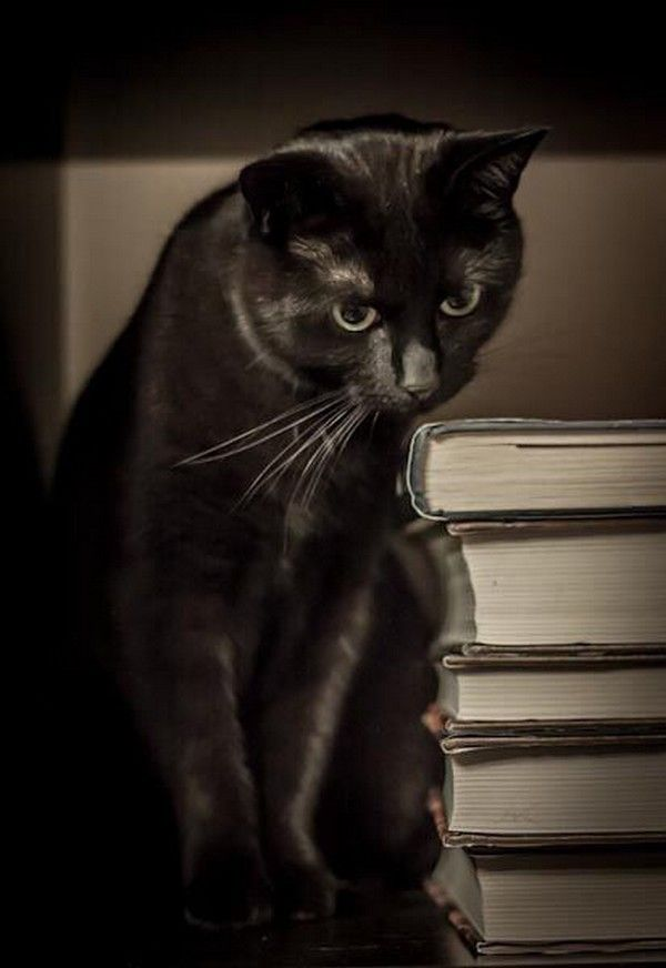 hermoso gato negro