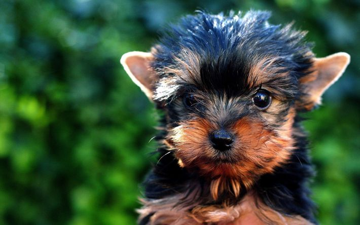 Download wallpapers Norwich Terrier, 4k, puppy, dogs, muzzle, cute animals, pets, Norwich Terrier Dog