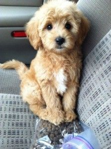 Miniature Goldendoodle puppy in the car
