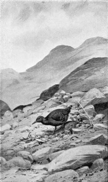 Painting by Rose Annie Rogers of Atlantisia rogersi, the world's smallest flightless bird, which is found only on Inaccessible Island