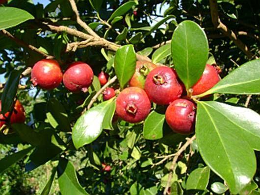 Araçá Vermelho - cultivado em pomares domésticos no Sul e frequente em seu habitat natural nas restingas litorâneas, na Mata Atlântica e no Planalto Meridional. Arbusto de 1-9 m de altura, com tronco e ramos com casca lisa e descamante.  Frutos bagas vermelhas de menos de 20 g. Os frutos, de sabor ácido-adocicado, são consumidos in natura.