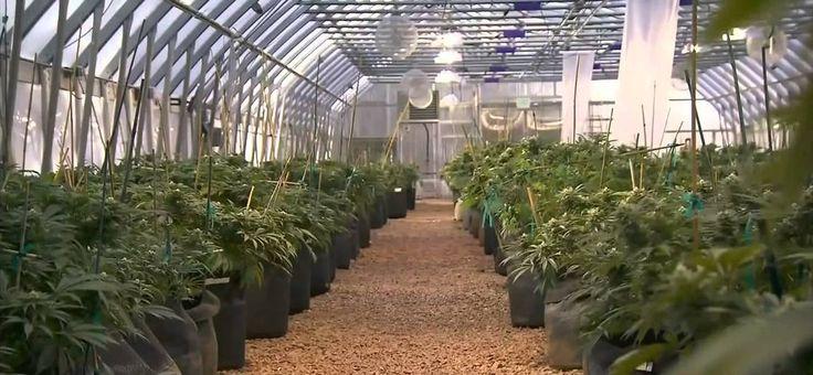 """Новозеландские полицейские """"накурили"""" район при сжигании изъятой марихуаны"""