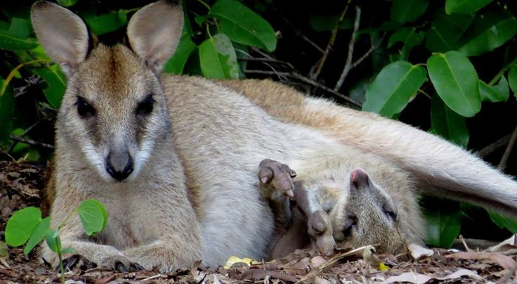 We love guest photos! Thanks for sharing your great photo of a Wallaby and her Joey enjoying some sunshine, Diana!