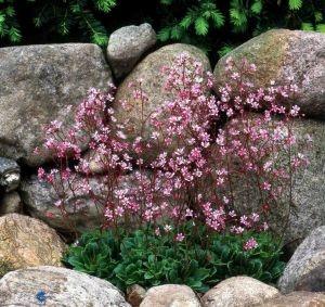 Til skyggebedet: Porcelænsblomst / Saxifraga urbium 'Elliott's Variety'. Porcelænsblomst har små rosa stjerneformede blomster i florlette toppe fra maj. Den blomstrer længe og tåler let skygge. Blomsterne sidder på lange stilke. Den lave stedsegrønne staude egner sig glimrende som bunddække. Planten breder sig ligesom husløg ved at danne nye rosetter, der kan deles efter blomstring.