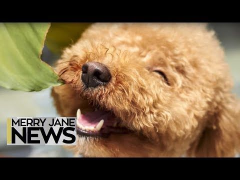 Pot for Pets: How Cannabis Is Safely Helping Your Favorite Creatures | MERRY JANE News
