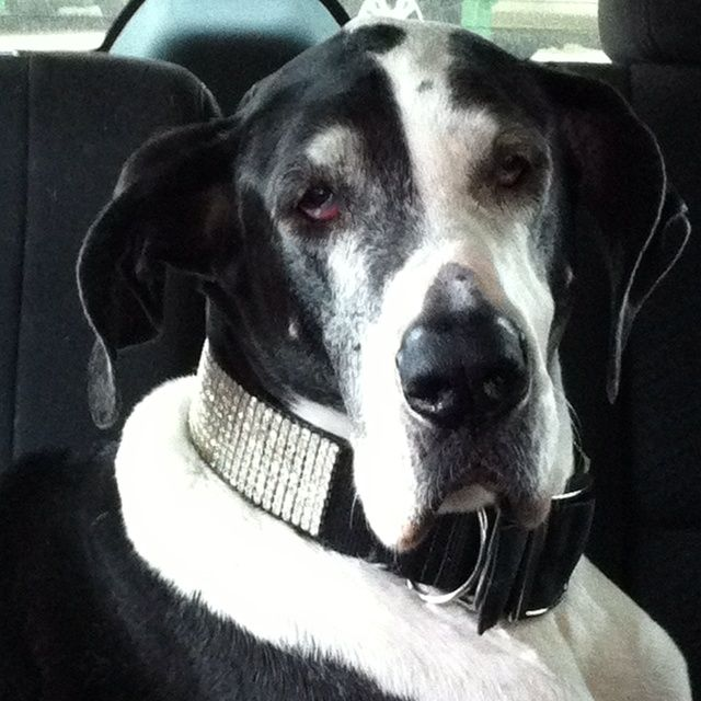 Trip to the vet? Great Dane Rescue               MY GREAT DANE, BABE, HE IS A RESCUE DOG..