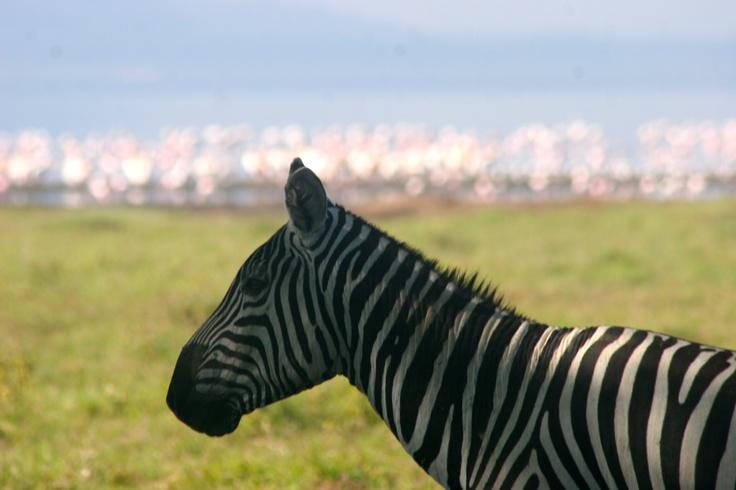 Zebra in Kenya!