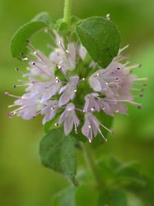 Mentha pulegium, pennyroyal oil to induce labor.  The midwife used it on me, and it worked very well.  It can be dangerous though, even deadly, approach with extreme caution.