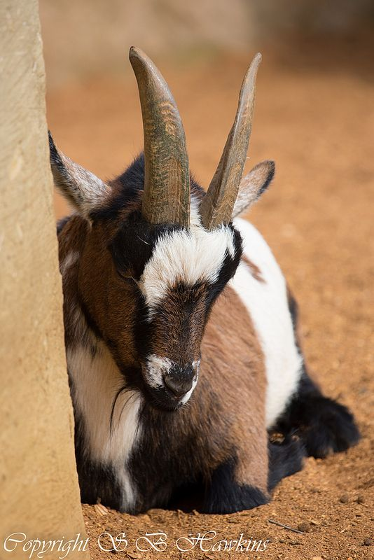 Pygmy Goat | sbh_photos@yahoo.co.uk | Flickr