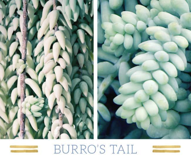 Stunning Desert Plants Succulents: burros-tail