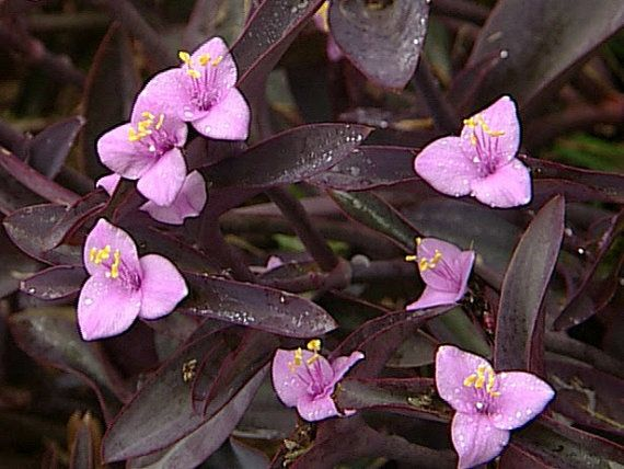 Tradescantia pallida Purple Heart Plant out/indoor One by artVine