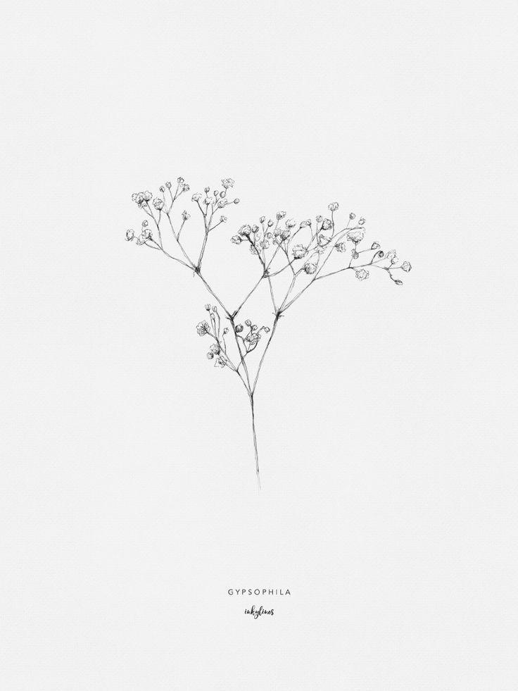 Zeichnung von Gypsophila, auch als Atem des Babys bekannt. Sein Name leitet sich ab