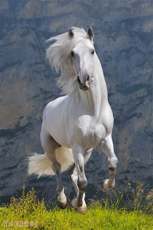 ➗PRE Andalusian, Gorgeous white grey horse running by the mountain.