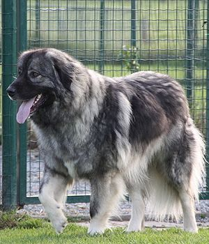 Sarplaninac (Yugoslav Shepherd):  Independent, Proud, Energetic, Lively, Reliable, Devoted