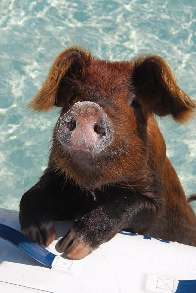 Swimming pig in the Bahamas-- swimming with pigs in the Bahamas has been added to my bucket list!