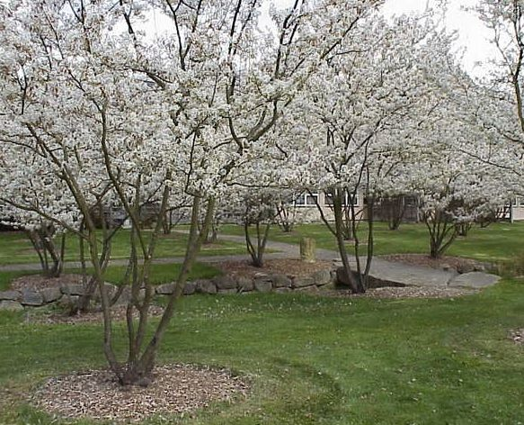 """Great Thread for """"Advice Needed - Ornamental Tree for Front Yard (zone 5)"""" Photo: Downy Serviceberry (in spring). Turns bright orange in fall. Has berries that birds like."""