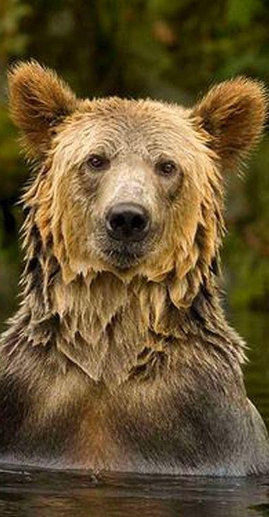 Bear - Canadian Wildlife © Jamie Scarrow #animal wilderness wildlife nature