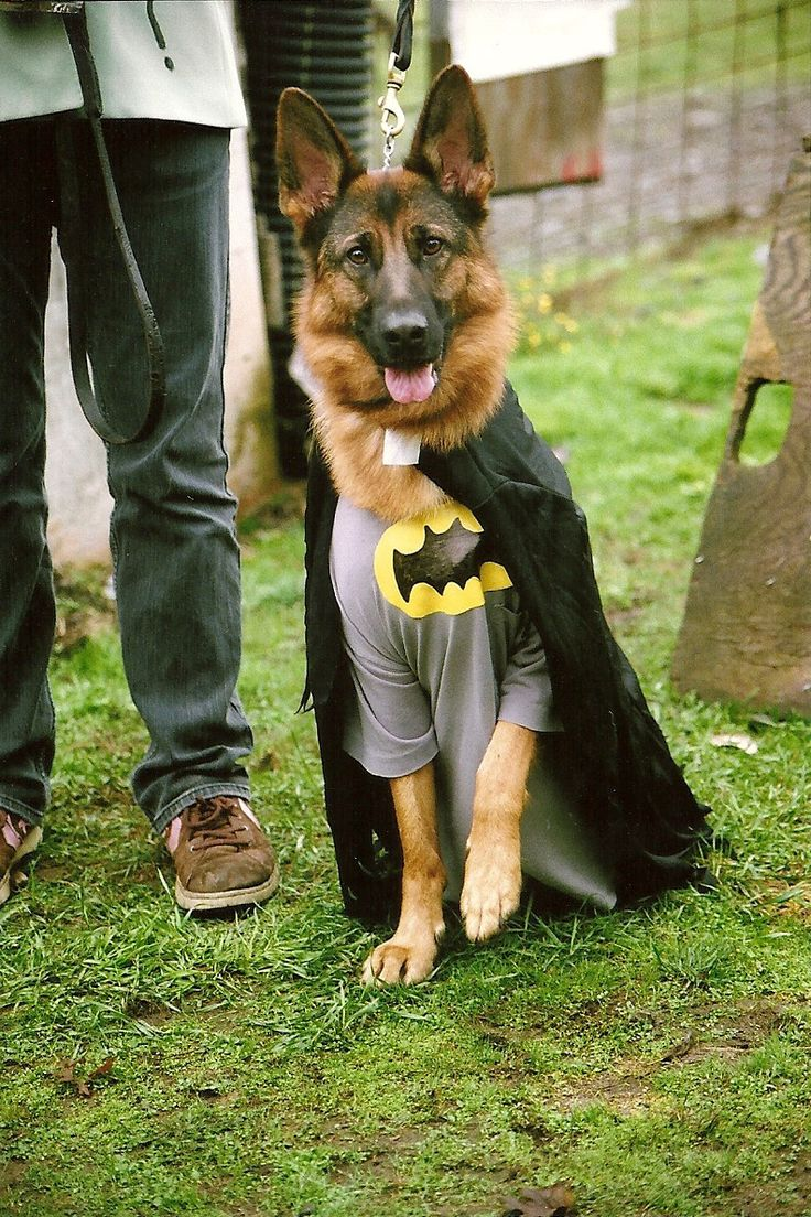 just a german shepherd in a batman costume