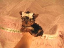 this extremely adorable teacup yorkie is for adoption if you are interested in adopting her email her current owner at tinadawson08@yahoo.com
