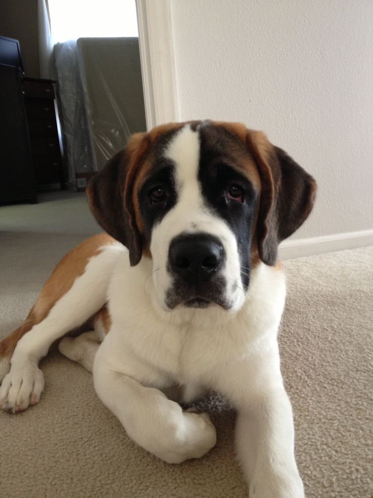 Best 25  Short haired st bernard ideas on Pinterest | St bernard ...