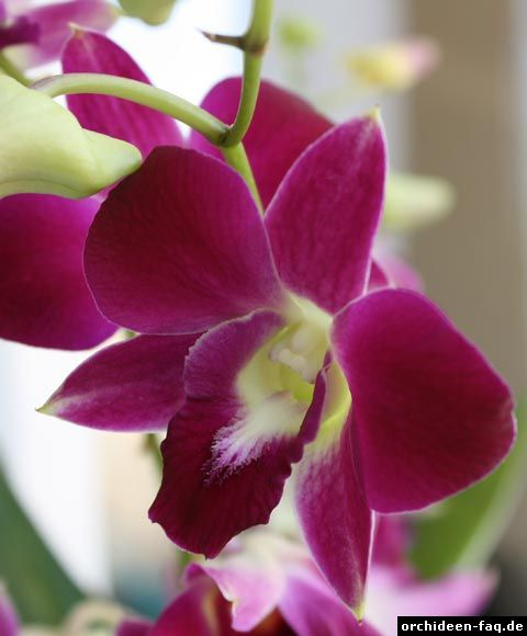 1000 images about orchideen on pinterest orchid plants. Black Bedroom Furniture Sets. Home Design Ideas