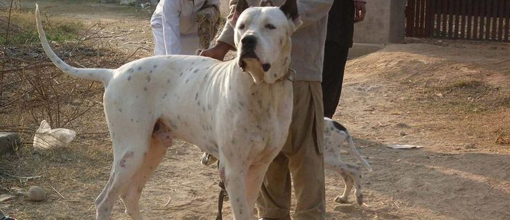 De Bully Kutta is een grote gespierde waakhond uit het zuiden van Indië. Het is een zeldzaam hondenras en dit ras wordt ook wel aangeduid als de South Asian Mastiff, Pakistani Bully Dog, de Pakistani Mastiff of Bully Cutha. De betekenis van de naam van dit ras is sterk gerimpelde hond. (Bully is afgeleid van het Hindi-woord Bohli, wat sterk gerimpeld betekent en Kutta betekent hond.)