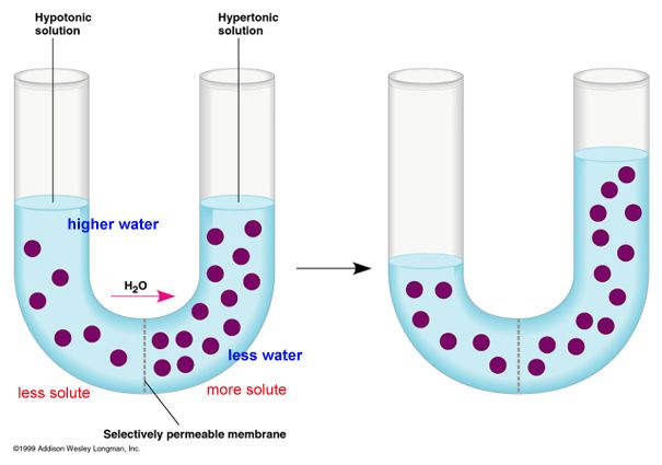 The process of osmosis and its