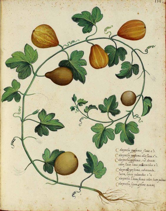 Ulisse Aldrovandi; Italian fruits and vegetables. | Art: Botanical ...