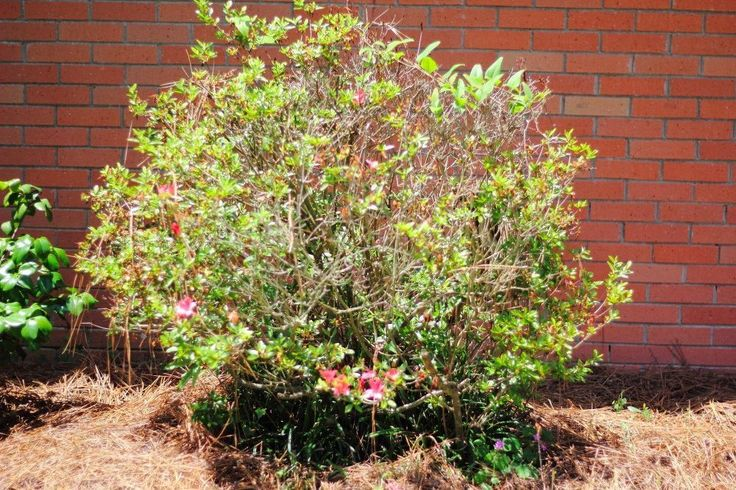 How to Refresh Old Azaleas! | Hometalk | We never would have thought of trying this gardening trick!