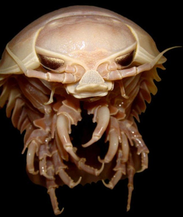 The beast normally lives 8,500ft under water. Called the Bathynomus Giganteus, it is a super-sized cousin of the humble woodlouse