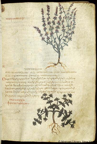 De materia medica, MS M.652 fol. 133r - Images from Medieval and Renaissance Manuscripts - The Morgan Library & Museum