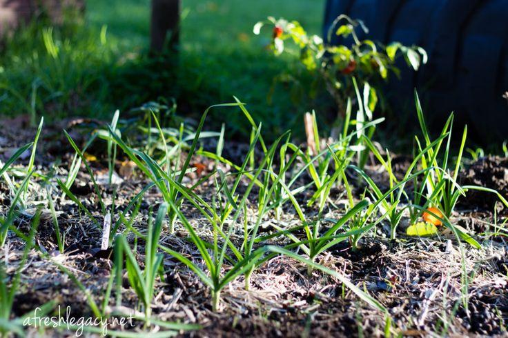 Vegetable garden transition from autumn to winter. Garlic growing