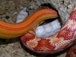 cornsnakes = Kornnattern  Sunglow striped,  Amelanistic,  Pink-blotched-Snow
