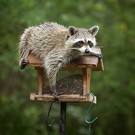 86 best images about caught it on pinterest facts in pictures and bird feeders How to keep raccoons out of garden
