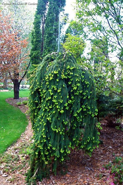 Picea abies 'Pendula'-common name-Weeping Norway Spruce.