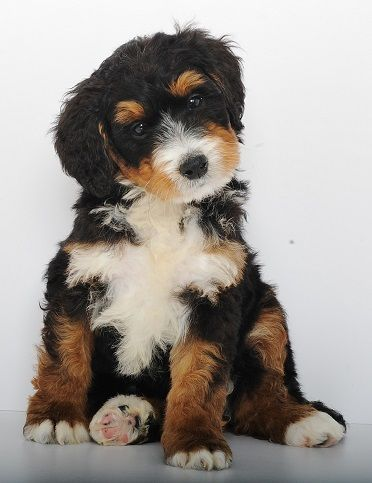 Mini Bernedoodles Swissridge Berenedoodles Dogs
