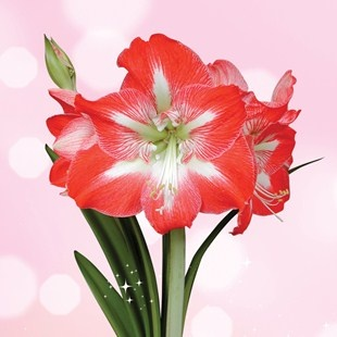 Want to treat your mum on Mother's day? This lovely Giant Amaryllis makes a fantastic gift.