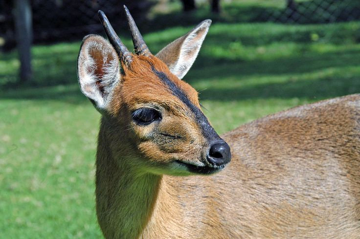 San Lameer is filled with some beautiful and interesting wildlife. Today we present to you, the Grey Duiker. #WildlifeWednesday The common duiker, also known as the grey or bush duiker, is a small antelope found in west, central, east, and southern Africa- essentially everywhere in Africa south of the Sahara, excluding the Horn of Africa and the rainforests of the central and western parts of the continent. Generally, they are found in habitats with sufficient vegetation cover to allow them…