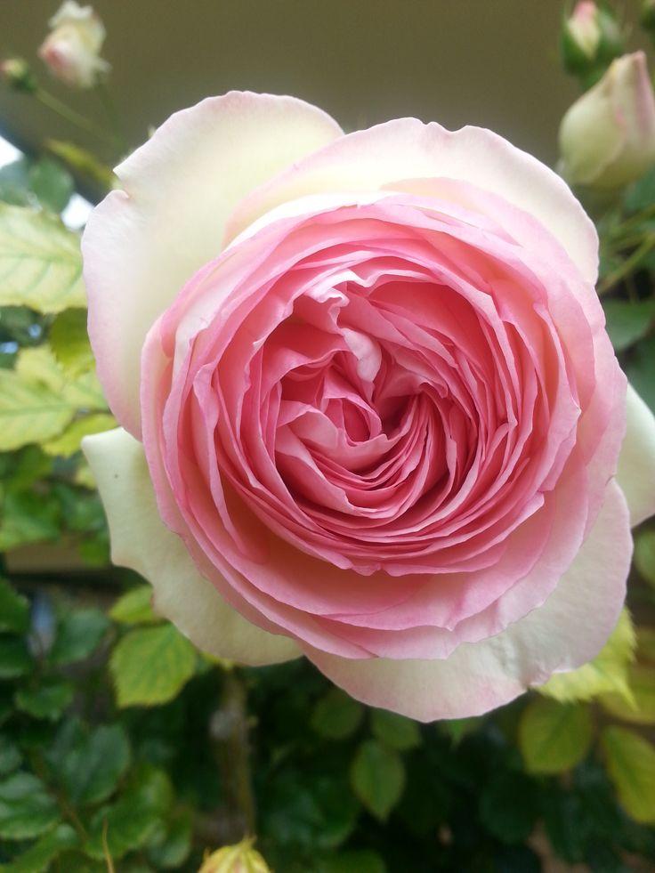 A David Austin Climbing Rose in my front garden in Perth Western Australia