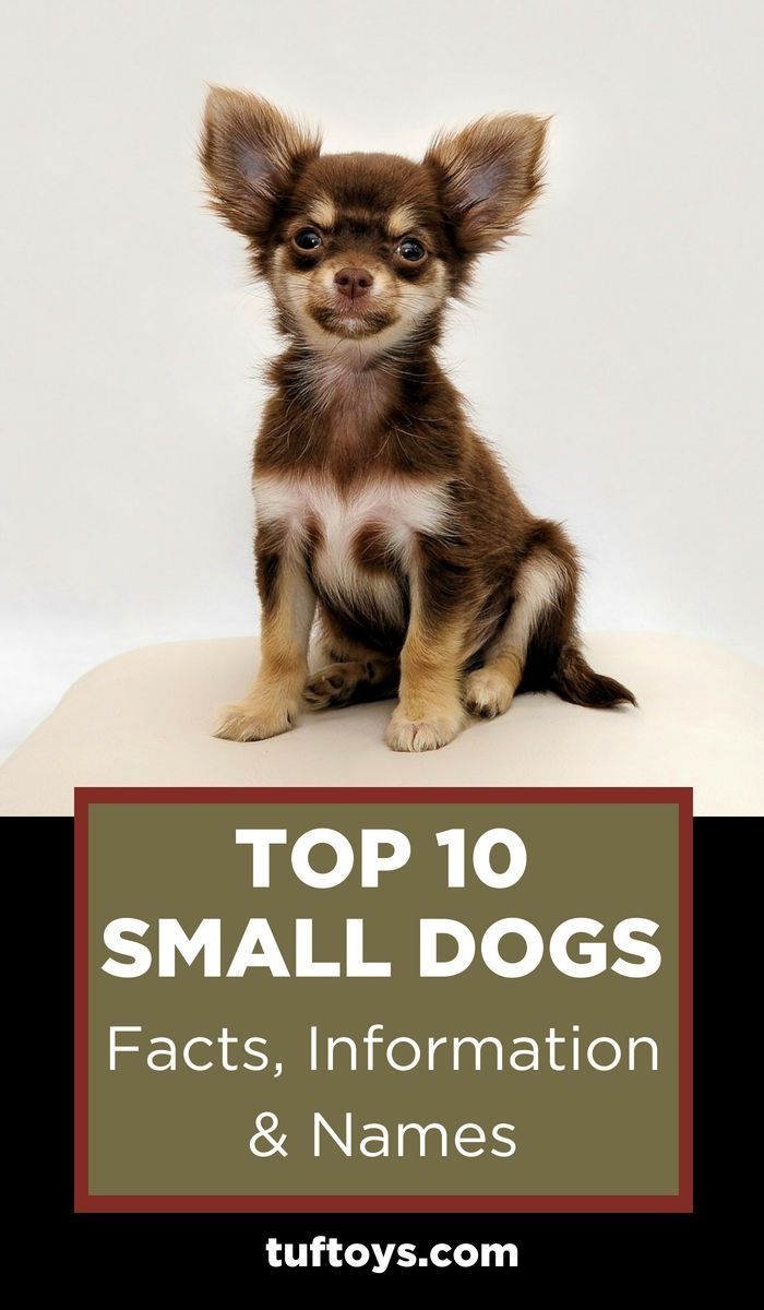 Top 10 Small Size Dog Facts Information Names Dog Facts Dachshund Facts Toy Dog Breeds