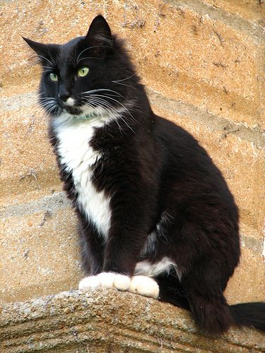 """This is the tuxedo cat I imagine Hodge to look like in Mary Stewart's novel, """"Thornyhold""""."""