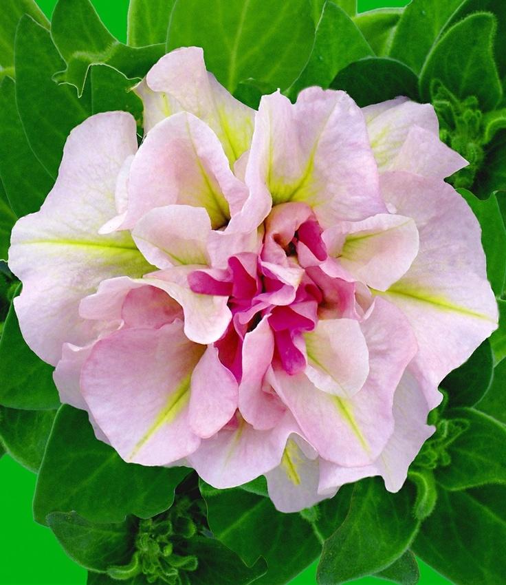 Petunia 'Sweet Sunshine' Bicolor