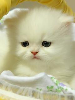 gatito blanco¡